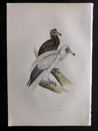 Morris 1897 Antique Hand Col Bird Print. Egyptian Vulture